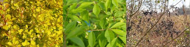 Non invasive Plants