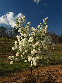 'Blizzard' Pearlbush tree