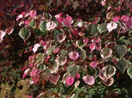 Carolina Sweetheart™ leaves