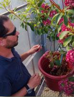 Dominic Gillooly pollinating Kalmia