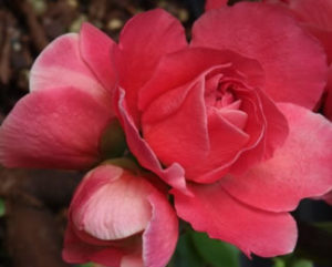 Cover photo for Double Take Pink Chaenomeles Wins Silver