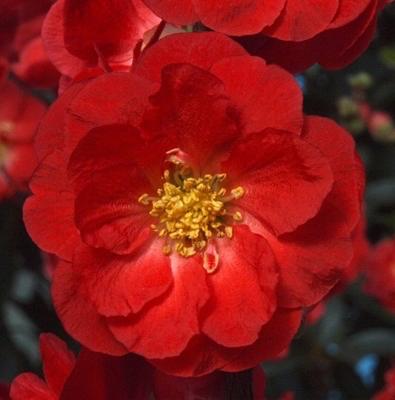 Scarlet Storm blossom