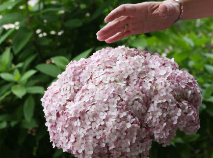 Incrediball™ Blush hydrangea