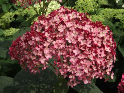Invincibelle™ Ruby blossoms close-up