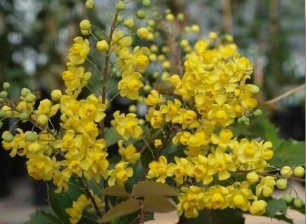 Flowers, 'JC Raulston' Mahonia