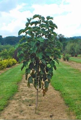 Mercury™ Magnolia leaves