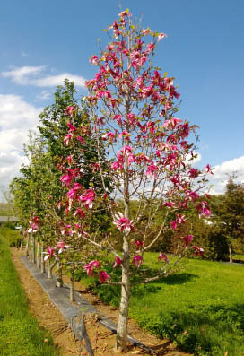 Mercury™ Magnolia flower tree in bloom