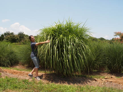 My Fair Maiden™ Miscanthus
