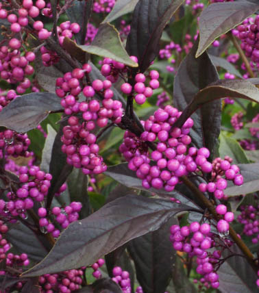 Pearl Glam™ leaves and berries close-up