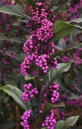 Pearl Glam™ berries