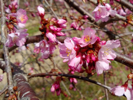 Pink Cascade™ Flowering Cherry