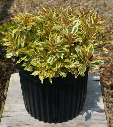 'Sunset' Weigela in pot