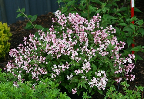 Yuki Cherry Blossom� Deutzia in bloom