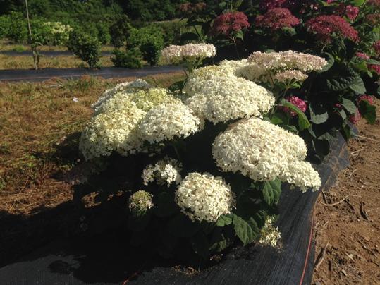 Hydrangea arborescens 'NCHA5' Invincibelle Wee White