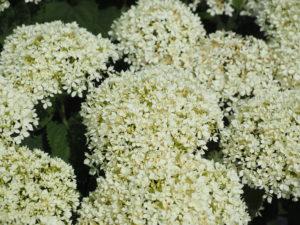 close up of Hydrangea Invincibelle Limetta